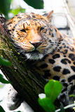 Leopard sleeping on a tree Stock Photography