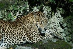 Leopard Sleepping Arkivfoton