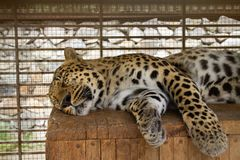 Leopard sleeps on a wooden surface stock photo