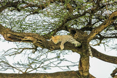 Leopard sleping. Leopard resting on a tree at Ndutu Area - Serengeti National Park, (Tanzania - Africa Royalty Free Stock Image