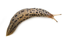 Leopard Slug. A Leopard Slug isolated on white background. Clipping Path included stock photo