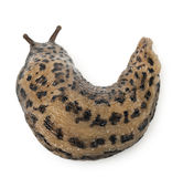 Leopard slug - Limax maximus, in front of white Stock Image