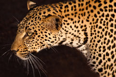 Leopard, smallest cat of the savanna. In closeup Royalty Free Stock Photo