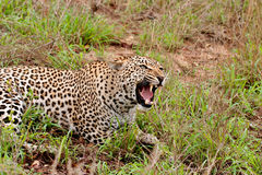 Leopard snarling Stock Photos