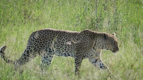 Leopard sneaks and hides bent back tall grass of wildlife African savannah