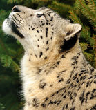 Leopard Snow Stock Photography