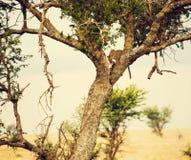 Leopard som äter hans offer på en tree i Tanzania Arkivfoto