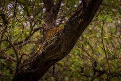 Leopard som för ett tag sover på trädet på kabiniskogområde royaltyfria foton