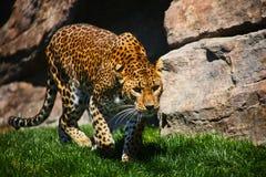 Leopard som förbereder sig för hoppet Arkivfoto