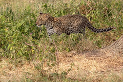 Leopard som går i busken Arkivbild