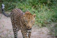 Leopard som går i sanden i Kruger Arkivfoto