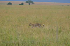 Leopard som går i savannet i den Serengeti nationalparken Royaltyfri Foto