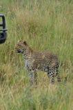 Leopard som går i savannet i den Serengeti nationalparken Royaltyfria Bilder