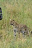 Leopard som går i savannet i den Serengeti nationalparken Arkivfoton