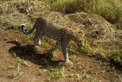 Leopard som går till och med grässlätten i Serengetien, Tanzania arkivfoton