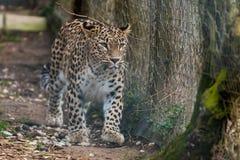 Leopard som går vid staketet Royaltyfri Bild