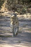 Leopard som g?r med ?vertygelse i det l?st close upp royaltyfri bild