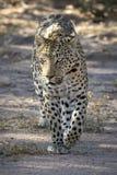 Leopard som g?r med ?vertygelse i det l?st close upp h?rlig katt royaltyfria bilder