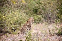 Leopard som granskar landet Arkivbild