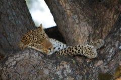 leopard som har en ta sig en tupplur arkivbilder