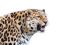Leopard som isoleras på vit bakgrund Arkivfoton