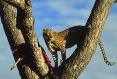 Leopard som matar i träd Fotografering för Bildbyråer