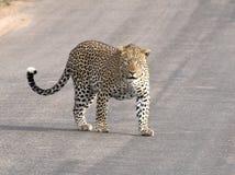 Leopard som plattforer på tarvägen Royaltyfria Bilder