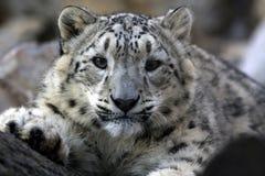 leopard som ser dig royaltyfria foton