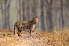 Leopard som stås på torrt skogspår Arkivfoton