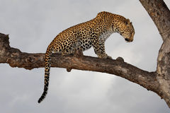 Leopard, South Africa. Leopard (Panthera pardus) sitting in a tree against a cloudy sky, South Africa Stock Photo