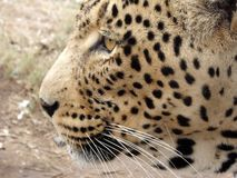 Leopard in South Africa. Close up of leopard's face in South Africa stock photos