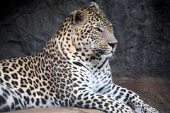 Leopard (South Africa) Royalty Free Stock Image