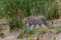 Leopard in south africa in the grass kruger Royalty Free Stock Photos