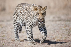 Leopard South Africa. A portrait of a leopard in South Africa royalty free stock photography