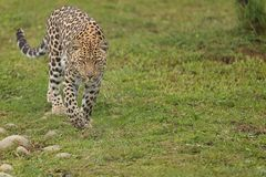 Leopard in South Africa 3 Stock Image