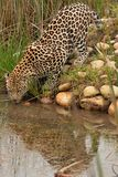 Leopard in South Africa 4 Stock Images