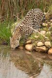 Leopard in South Africa 5 Royalty Free Stock Photography