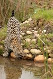 Leopard in South Africa 6 Stock Photos