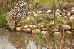 Leopard in South Africa 9 Stock Image