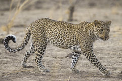 Leopard in South Luangwa national park Stock Image