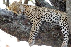 Leopard sovande i träd Royaltyfri Bild