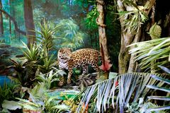 Leopard specimen from the Shanghai museum of nature. stock photography
