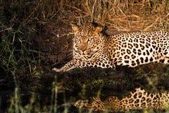 Leopard in the spotlight Stock Photo