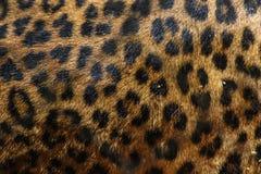 Leopard Spots Stock Images