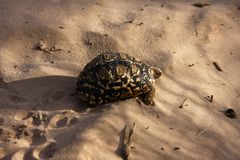 Leopard Spotted Tortoise Stock Photo