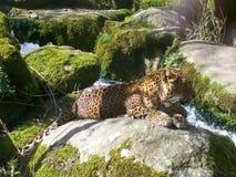 Leopard from Sri-Lanka Royalty Free Stock Photos