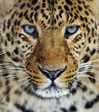 Leopard in Sri Lanka. Leopard in the wild on the island of Sri Lanka Stock Image