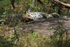 Leopard Sri Lankan Lizenzfreie Stockbilder
