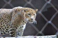 Leopard. Sri Lankan leopard in ZOO Ostrava, Czech republic, Panthera pardus kotiya Royalty Free Stock Photos