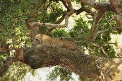 Leopard, Sri Lankan (Panthera pardus kotiya) Stock Images